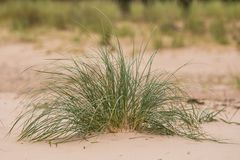 A green seaside grass growing in the sand. Beautiful beach flora in the wind. Stock Photography