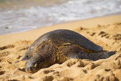 Green seaturtle at the beach of Haleiwa, O`ahu, Hawai`i Stock Photo