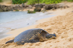 Green seaturtle at the beach Royalty Free Stock Images