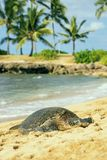Green seaturtle at the beach of Haleiwa, O`ahu, Hawaii Stock Photography