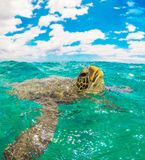 Green Seaturtle with Head Up Breathing in Ocean in Maui Hawaii stock image