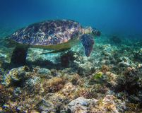 Green seaturtle Royalty Free Stock Photos