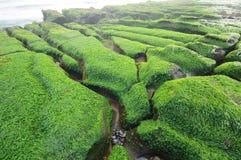 Green seaweed Royalty Free Stock Photo