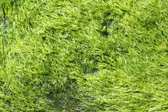Green seaweed texture Royalty Free Stock Photos