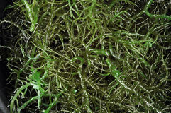 Green seaweed Stock Image