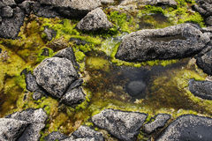 Green seaweed. In rocks covered with barnacles Royalty Free Stock Photos