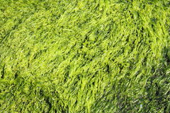 Green seaweed background Royalty Free Stock Images
