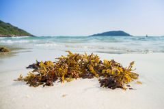 Green seaweed on the beach Stock Photography