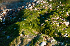 Green Seaweed on beach Royalty Free Stock Photography
