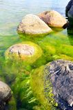 Green seaweed and coastal rocks environment Royalty Free Stock Photos