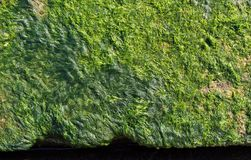 Green seaweed on a concrete surface Royalty Free Stock Images