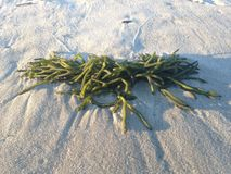 Green Seaweed at Long Beach. Stock Images