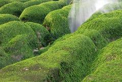 Green seaweed rock. Royalty Free Stock Images
