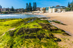 Green seaweed on a rocks on Cronulla beach Royalty Free Stock Images