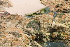 Green Seaweed on rocks. When the water is down Royalty Free Stock Images