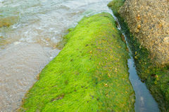 Green seaweed on the rocks roughness. Royalty Free Stock Photography