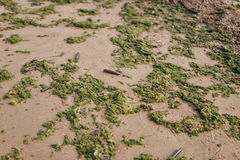 Green seaweed on sand on sea shore Stock Images