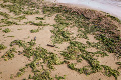 Green seaweed on sand on sea shore Stock Photography