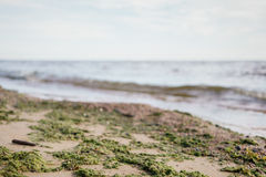 Green seaweed on sand on sea shore Royalty Free Stock Image