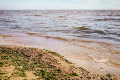 Green seaweed on sand on sea shore Royalty Free Stock Photo