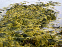 Green seaweed. Scenic view of green seaweed in ocean Royalty Free Stock Images