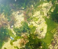 Green seaweed under the water Royalty Free Stock Photography
