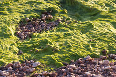 Green seaweed water plant sea beach. Stock Images