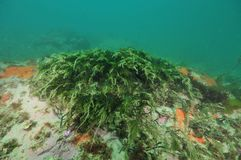 Green seaweeds in current. Short green seaweeds bent by current above rock covered with sediment in murky water Stock Photos