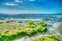 Green seaweeds on the rocks in Le Bombarde beach in hdr Royalty Free Stock Image