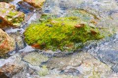 Green Seaweeds on rocks Stock Image
