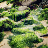 Green seaweeds and rocks in Waterville, County Kerry - vintage effect. Stock Image