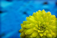 Green seccullent macro flower in blue background and wallpapers in top high quality prints royalty free stock image