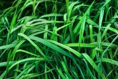 Green sedge Stock Photos