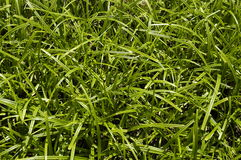 Green sedge closeup. Green sedge in sunlight Stock Photography