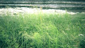 Green sedge, reed, grass swaying near river or lake. Lush green sedge, reed and grass swaying in wind on background of river or lake stock footage