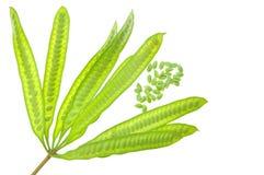 Green Seed White Popinac Stock Photo
