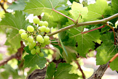 Green seedless grapes. Stock Photo