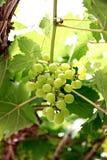 Green seedless grapes. Royalty Free Stock Photos