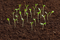 Green seedling Royalty Free Stock Image