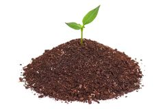Green seedling royalty free stock image