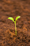 Green seedling. Growing out of the soil Royalty Free Stock Photography