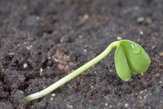 Green seedling Royalty Free Stock Images