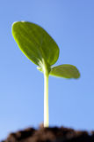 Green seedling against blue sky Stock Image