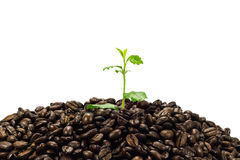 Green seedling in coffee beans isolated on white background Stock Photo