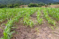 Green seedling corn field Royalty Free Stock Photography