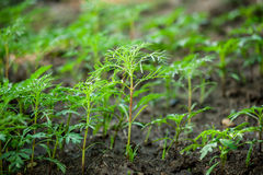 Green seedling in the field Royalty Free Stock Images