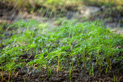 Green seedling in the field and water drop on its Royalty Free Stock Images