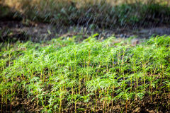 Green seedling in the field and water drop on its Royalty Free Stock Photo
