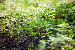 Green seedling in the field and water drop on its Royalty Free Stock Image