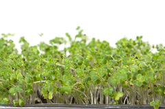 Green seedling getting ready for spring Stock Image